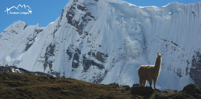 LEARN ABOUT THE BEAUTIFUL, FASCINATING ANIMALS YOU'LL ENCOUNTER ON YOUR TREK WITH ANDEAN LODGES