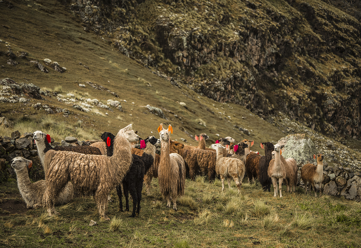 The Trail of the Herders, maintaining the Andean tradition of llama herding