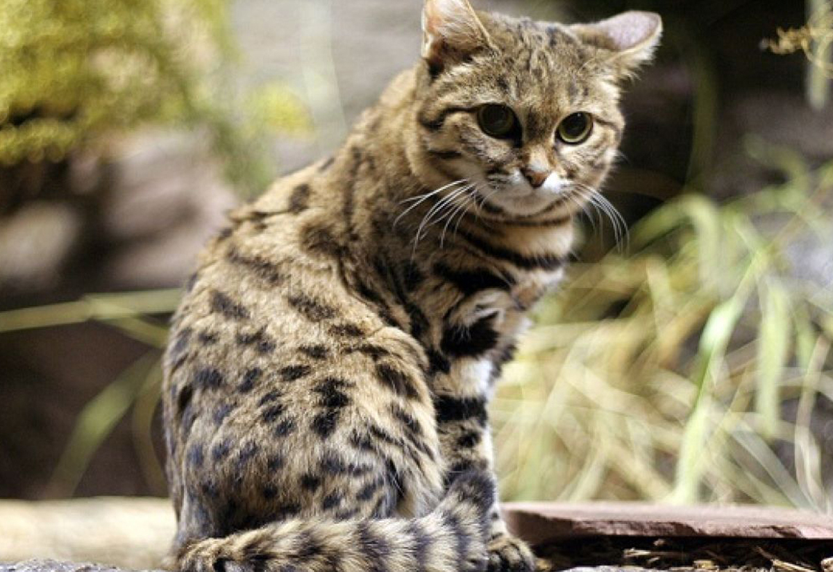 The Andean mountain cat: an endangered Andean species