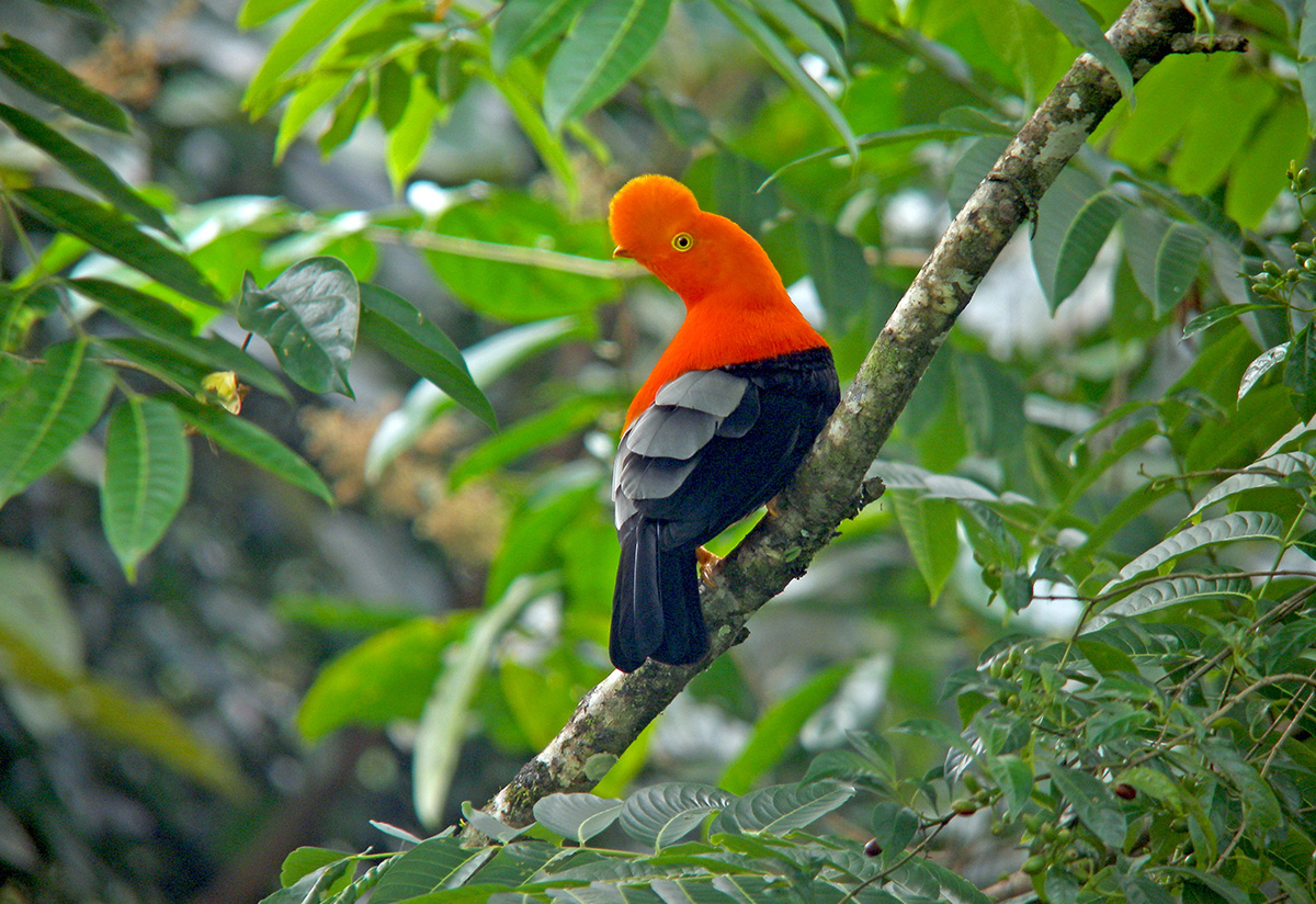 The Andean Cock-of-the-rock: Peru's colorful and unique national bird